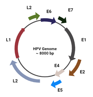 Fig 1: The Genomic structure of HPV type 16 and the coding regions for each protein.